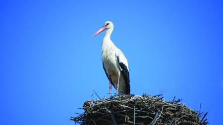 Páhira érkezett vissza  az első fehér gólyák egyike